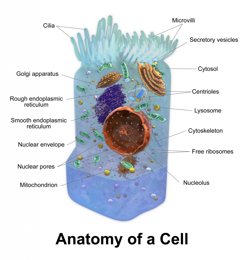 cellanatomy