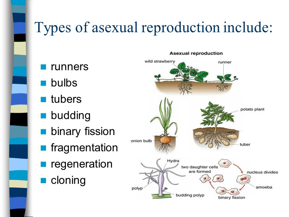 asexual-reproduction